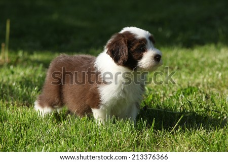 Puppy of Bearded collie standing in the garden - stock photo