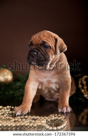 puppy of breed Cane Corso