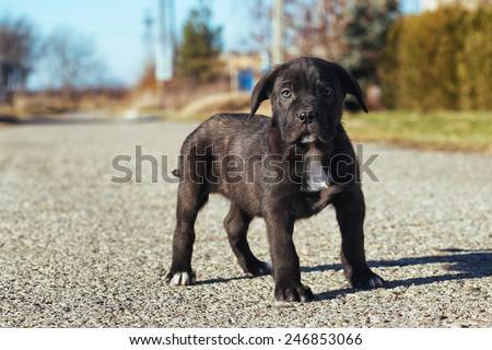 Puppy of breed Cane Corso standing