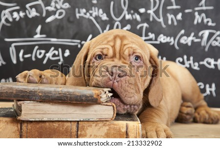 Puppy of Dogue de Bordeaux (French mastiff) chewing a book  - stock photo