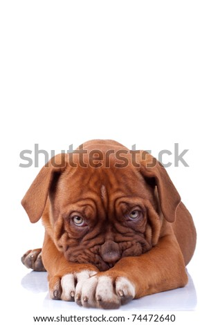 Puppy of Dogue de Bordeaux (French mastiff) looking very shy, on white background - stock photo