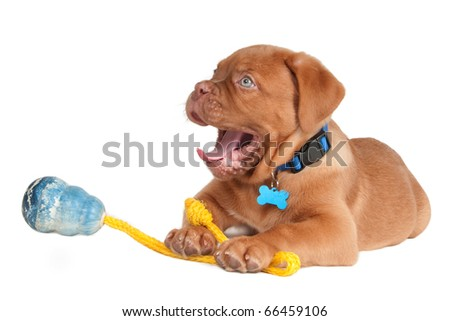 Puppy of dogue de bordeaux yawning after playing for hours - stock photo