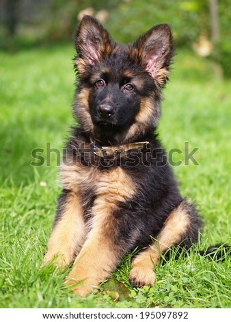Puppy of german shepherd dog long haired - stock photo