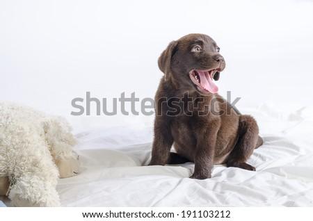 Puppy of labrador - stock photo