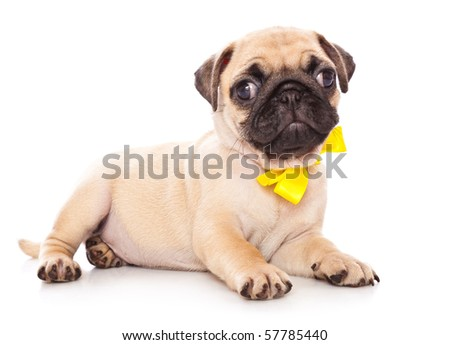 Puppy of pug. Isolated on white