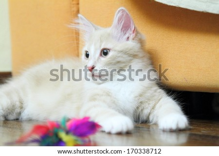 puppy of siberian cat, cream version