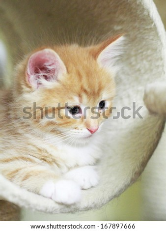 puppy of siberian cat, red version