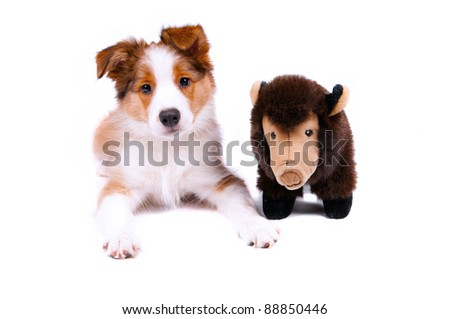 puppy of the border collie dog on the white - stock photo