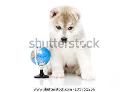 Puppy of the Siberian Huskies with the globe - stock photo