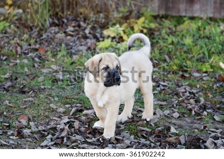 Puppy of the Spanish mastiff in square  the autumn afternoon - stock photo