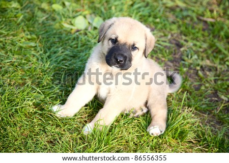 Puppy of the Spanish mastiff on a green grass