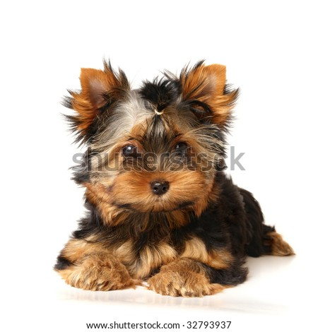Puppy of the Yorkshire Terrier - stock photo
