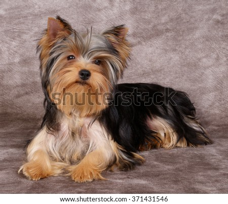 Puppy of the Yorkshire Terrier