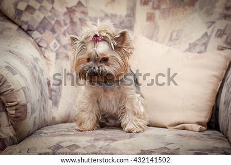 Puppy of the Yorkshire Terrier.Female Yorkshire ,small dog - stock photo