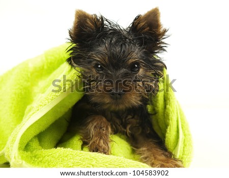 Puppy of the Yorkshire Terrier muffled wet in green towel - stock photo
