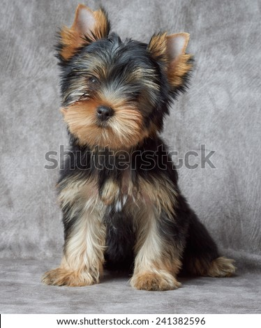Puppy of the Yorkshire Terrier on backdrop - stock photo