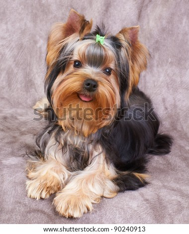 Puppy of the Yorkshire Terrier on the textile background