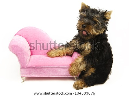 Puppy of the Yorkshire Terrier shows the language - stock photo