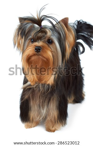 Puppy of the Yorkshire Terrier with top knot stands on white background                                - stock photo