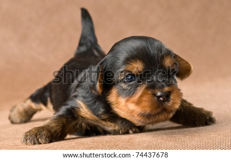 Puppy of yorkshire terrier - stock photo