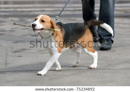 Puppy on walk - stock photo