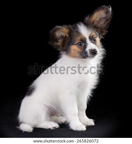 Puppy Papillon. Portrait on a black background - stock photo