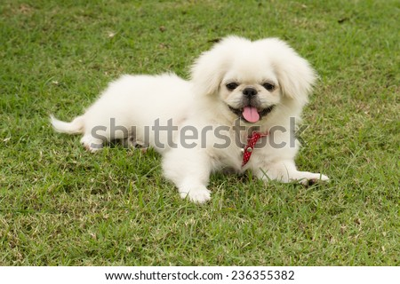 Puppy Pekingese breed, male dog , loveliness , playfulness - stock photo