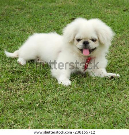 Puppy Pekingese breed, male dog , loveliness ,playfulness - stock photo