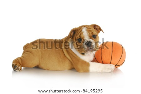 puppy playing - english bulldog puppy playing with a ball - nine weeks old - stock photo