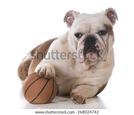 puppy playing with a ball on white background - bulldog 8 months old - stock photo