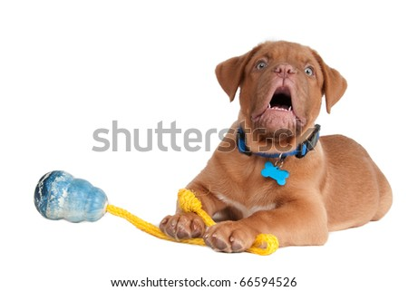 Puppy playing with a toy on a rope and barking - stock photo