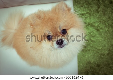 puppy pomeranian dog cute pets in home - stock photo