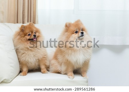 puppy pomeranian dog cute pets sitting on white sofa furniture - stock photo