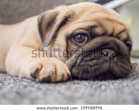 puppy pug dog - stock photo