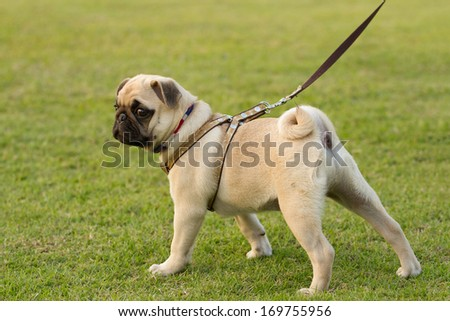 Puppy Pug is kept on leash