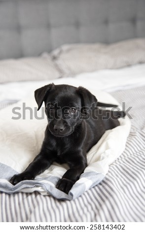 Puppy Relaxing on Human Bed  - stock photo