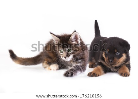 puppy  Rottweiler and kitten breeds Maine Coon, Cat and dog - stock photo