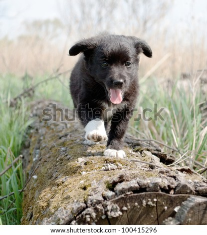 Puppy runs on a log, sunny day, a black suit of a puppy - stock photo