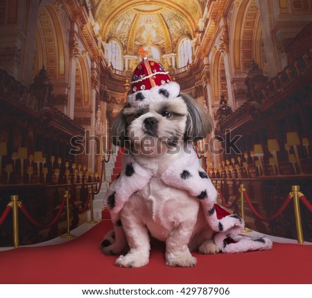 puppy shih tzu in a king costume - stock photo
