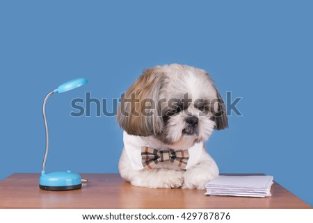 puppy shih tzu working in the office - stock photo