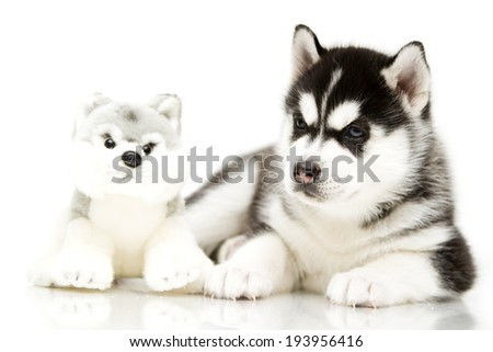 Puppy Siberian Husky with a plush toy, age of 1 mounts, isolated on a white background