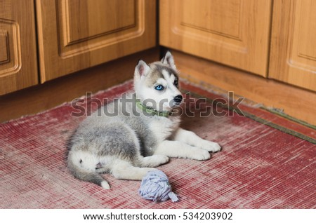 Puppy Siberian Husky with blue eyes laying at home