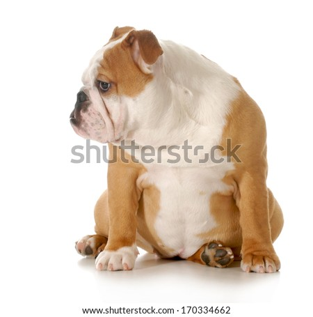 puppy sitting - english bulldog puppy sitting isolated on white background - 5 months old