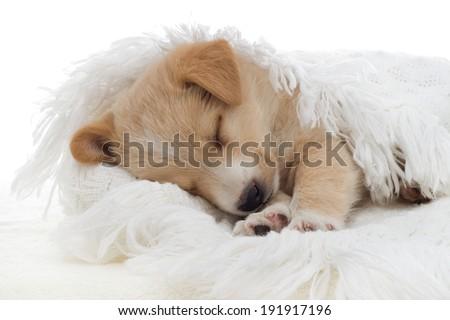 puppy sleeps - stock photo