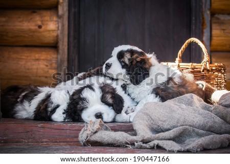 Puppy St. Bernard dog - stock photo