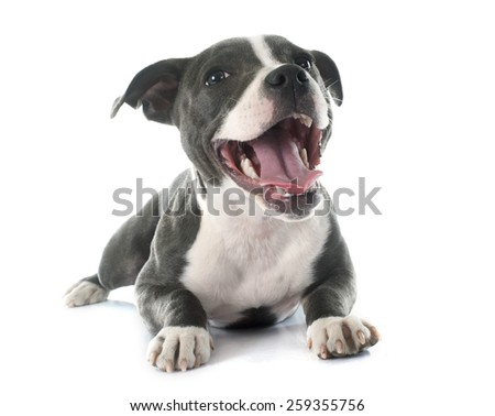 puppy staffordshire bull terrier in front of white background - stock photo