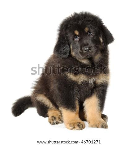 Puppy tibetan mastiff facing the camera - stock photo