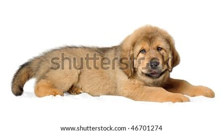 Puppy tibetan mastiff  lying down and facing the camera - stock photo