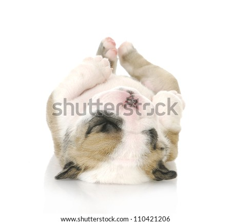 puppy upside down - cute english bulldog puppy upside down - 3 weeks old - stock photo