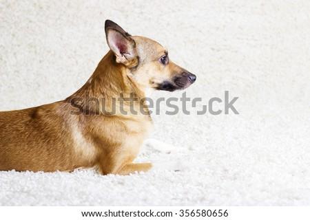 puppy watching - stock photo